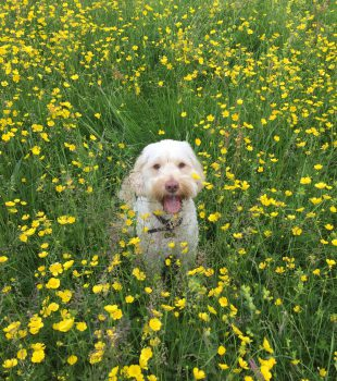Charlie running in the buttercups
